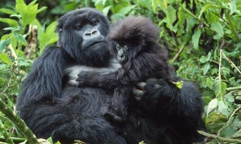 rwanda Bamboo Gorillas