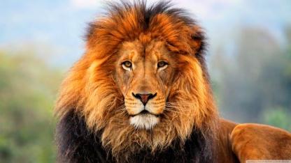 Serengeti Tanzania lion