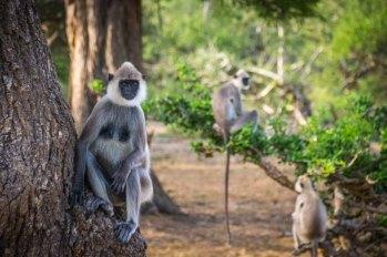 Yala-National-Park-Safari-Monkeys