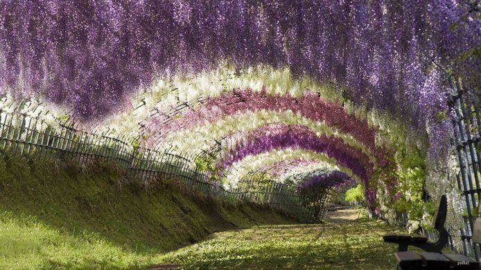 Wisteria tunnel is a heavenly place